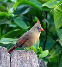 Female Northern Cardinal With ...