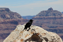 Raven In The Grand Canyon Ariz...