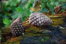 Two Large Pine Cones On A Fallen Tree In Woodland
