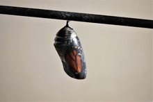 Monarch Chrysalis In The Opaqu...
