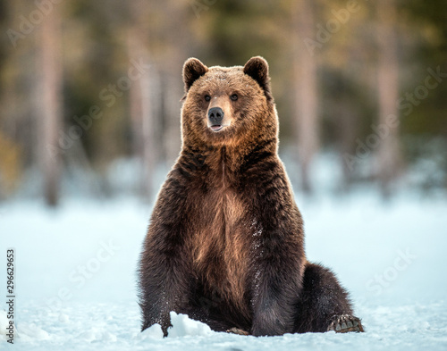 Fotografie, Obraz  Wild adult Brown bear sitting in the snow in winter forest