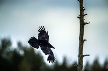 Silhouette Of A Flying Raven A...