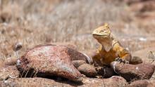Yellow Land Iguana (Galapagos)