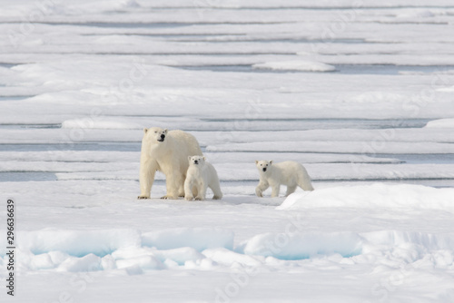 Wild polar bear (Ursus maritimus) mother and cub on the pack ice Tableau sur Toile
