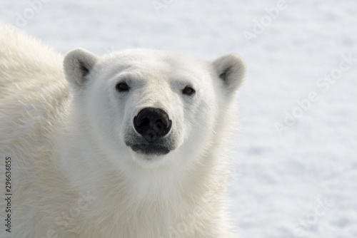Foto op Plexiglas Ijsbeer Polar bear's (Ursus maritimus) head close up
