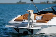A Labrador Retriever Dog Stand...