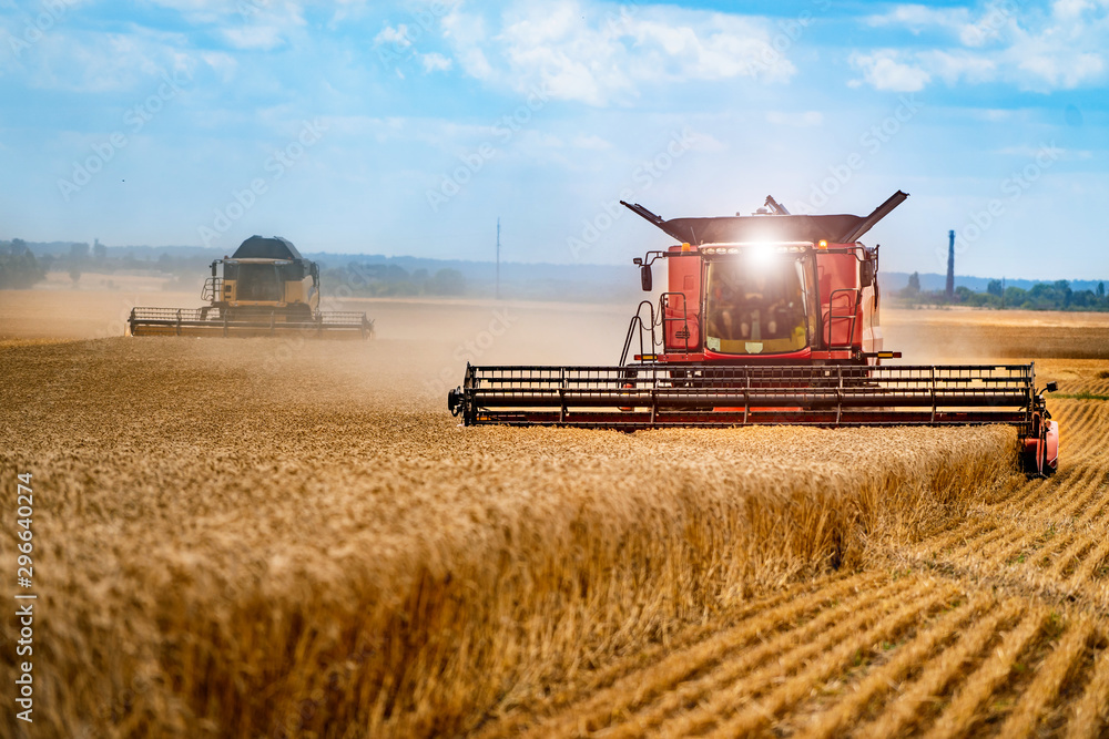 Fototapeta Grain harvesting combine in a sunny day. Yellow field with grain. Agricultural technic works in field.