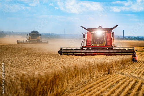Obraz Grain harvesting combine in a sunny day. Yellow field with grain. Agricultural technic works in field. - fototapety do salonu