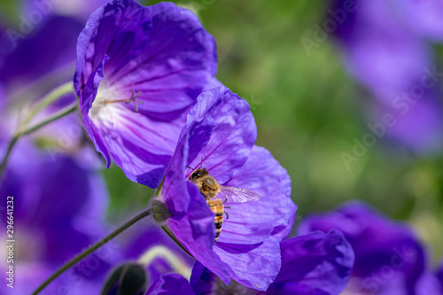 Honeybee collecting nectar from purple flower in bloom Tablou Canvas