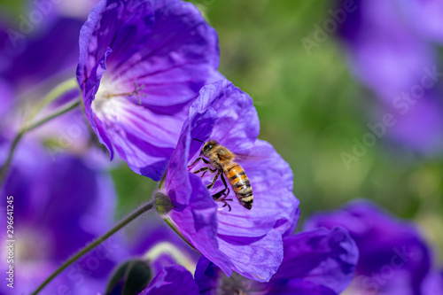 Honeybee taking flight after collecting nectar from purple flower in bloom Fototapet