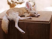 Cute Baby Fox Sleeping On A Wo...