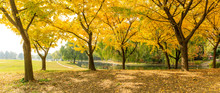 Beautiful Yellow Ginkgo Tree I...