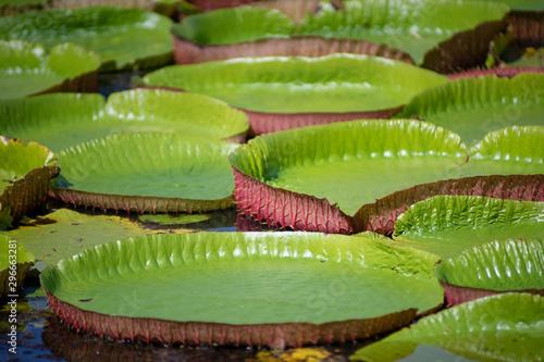 Valokuva Background of Amazon lily pad (Victoria Regia) lotus leaves