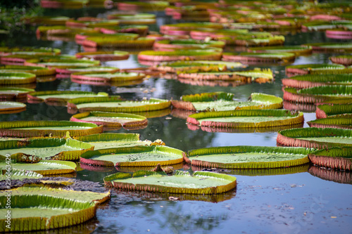 Poster de jardin Nénuphars The Victoria waterlily - the largest water lily in the world