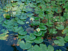 White Nenufar In A Lake. Background With A Pond With Nenufar Leaves  Surrounded By Floating Green Leaves And Beautiful Reflections In The Little Translucent Water