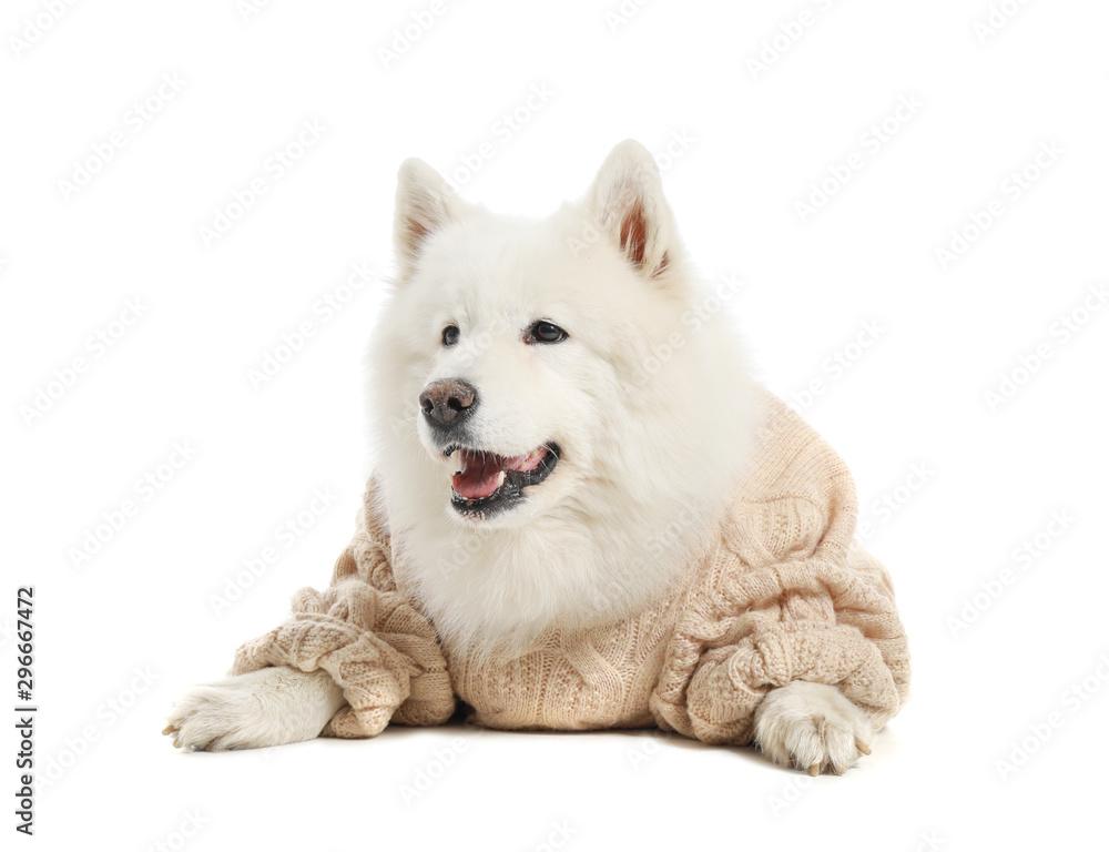 Cute Samoyed dog in warm sweater on white background