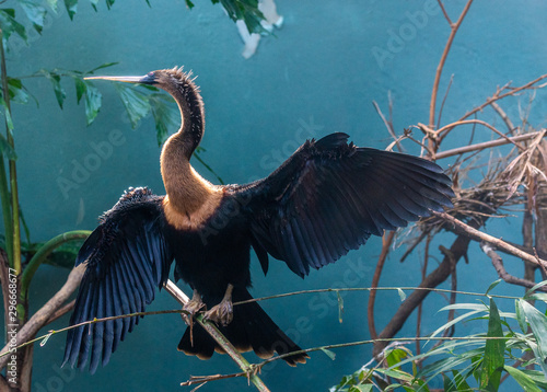 Earth Toned Plumage on an Anhinga with Full Wing Display in a Tree Wallpaper Mural