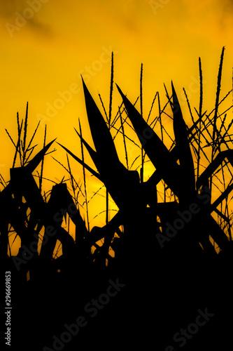 Fényképezés abstract silhouettes of corn stalks