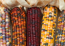 Different Colors Of Vibrant Ears Of Indian Corn With Husks Pulled Back. A Symbol Of Harvest Season, Ears Of Corn With Multicolored Kernels Crop Up Every Fall Adorning Doors And Grace Center Pieces