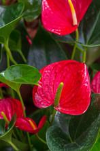 Four Red Anthurium Flowers