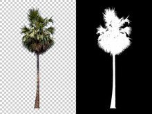 Isolated Coconut Palm Tree On ...