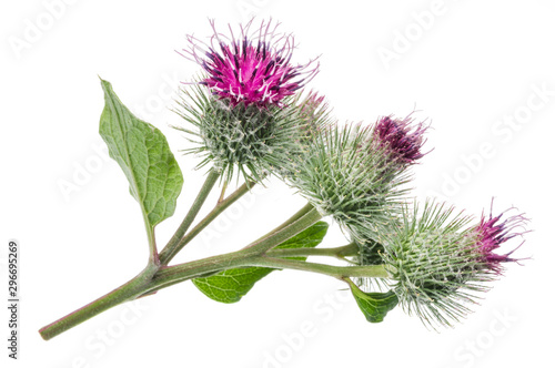 Tablou Canvas Prickly heads of burdock flowers isolated on white background.
