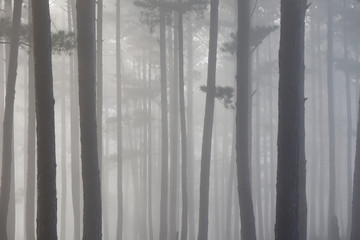 Pine forest in morning mist