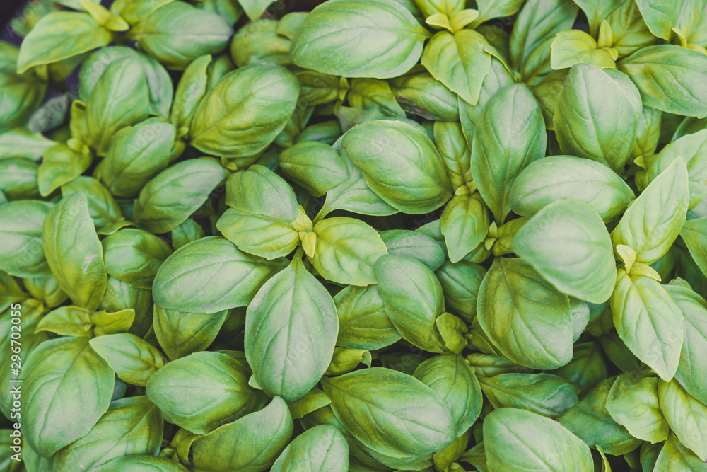 Fototapety, obrazy: Growing sweet basil leaves background