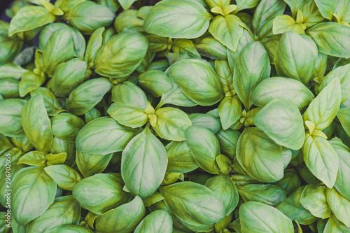 Foto op Aluminium Tuin Growing sweet basil leaves background