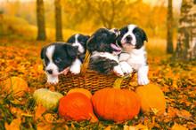 Welsh Corgi Pembroke Puppies Dogs With Pumpkins