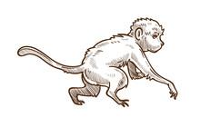 Capuchin Wild Animal Isolated Sketch, Asian Monkey