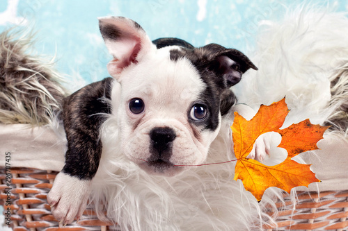 Fotobehang Franse bulldog kleiner Welpe mit Herbst Blatt