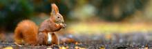 Fleißiges Eichhörnchen Im Herbst