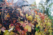 Ivy Plant With Berries In Autumn