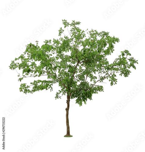 Fotografija  Green Tree isolated on white background