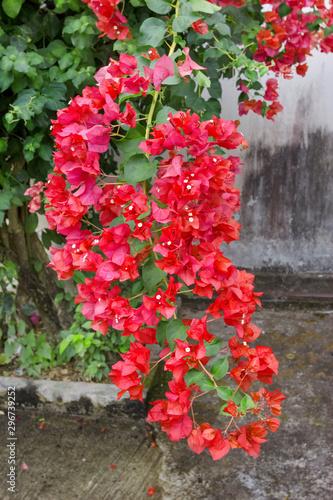 Canvas Print Red Bougainvillaea Flower