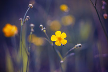 A Bright Yellow Buttercup Flow...