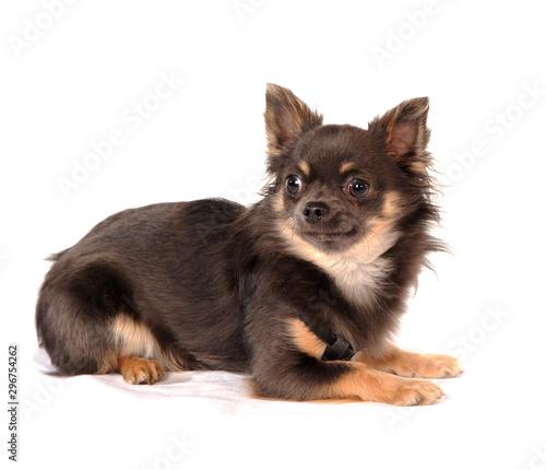 Hundeporträt Chihauhua © fotograupner