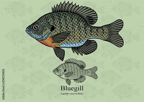 Fototapeta Bluegill, Sun fish. Vector illustration with refined details and optimized stroke that allows the image to be used in small sizes (in packaging design, decoration, educational graphics, etc.) obraz
