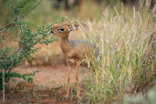 Photo Kirk-Dikdik (Madoqua kirkii) in Namibia