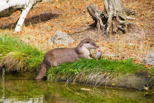 Wild eurasian otter eating fish