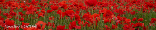 Red Poppies in Flanders Fields symbol for remembrance Day WW1 - For textured soft backdrops Wallpaper Mural