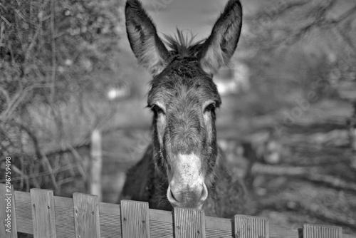 Foto auf AluDibond Esel Ane 1