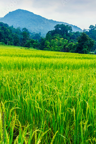 Autocollant pour porte Les champs de riz Green and yellow color terraced rice field in north of Thailand