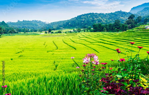 Flowers with green and yellow color terraced rice field in north of Thailand