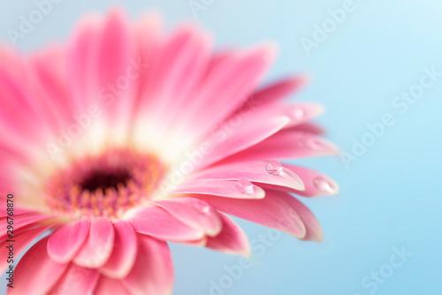 Beautiful close-up Gerbera daisy with drops. Macro photography.