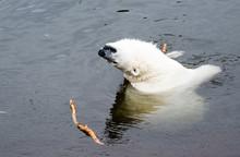 Polar Bear At Ranua Zoo