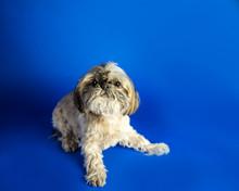 Single Pekingese Dog Portrait On Blue Background