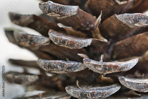 Cuadros en Lienzo Close-up of a pinecone