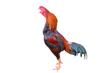 Rooster Isolated On A White Ba...